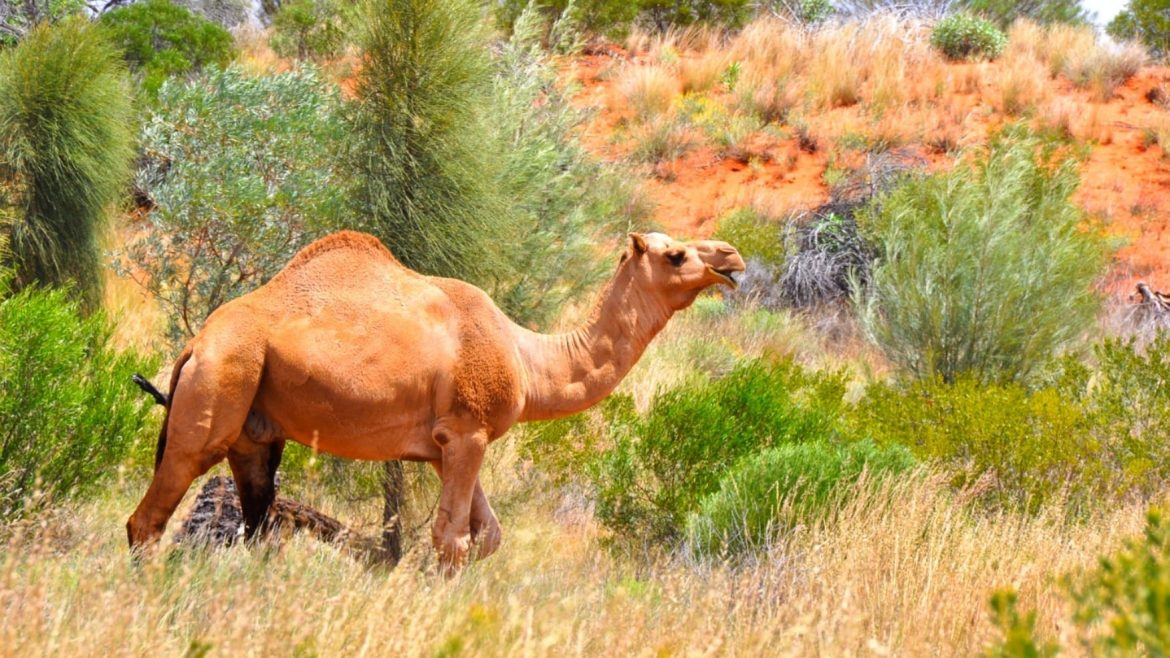 Camel In Australian Back Asia Vacation Group 1