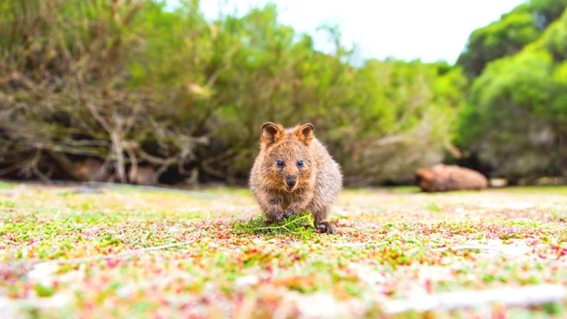 Cute Baby Quokka In Bush On Rottnest Island, Western Australia. Furry Marsupial Australia travel