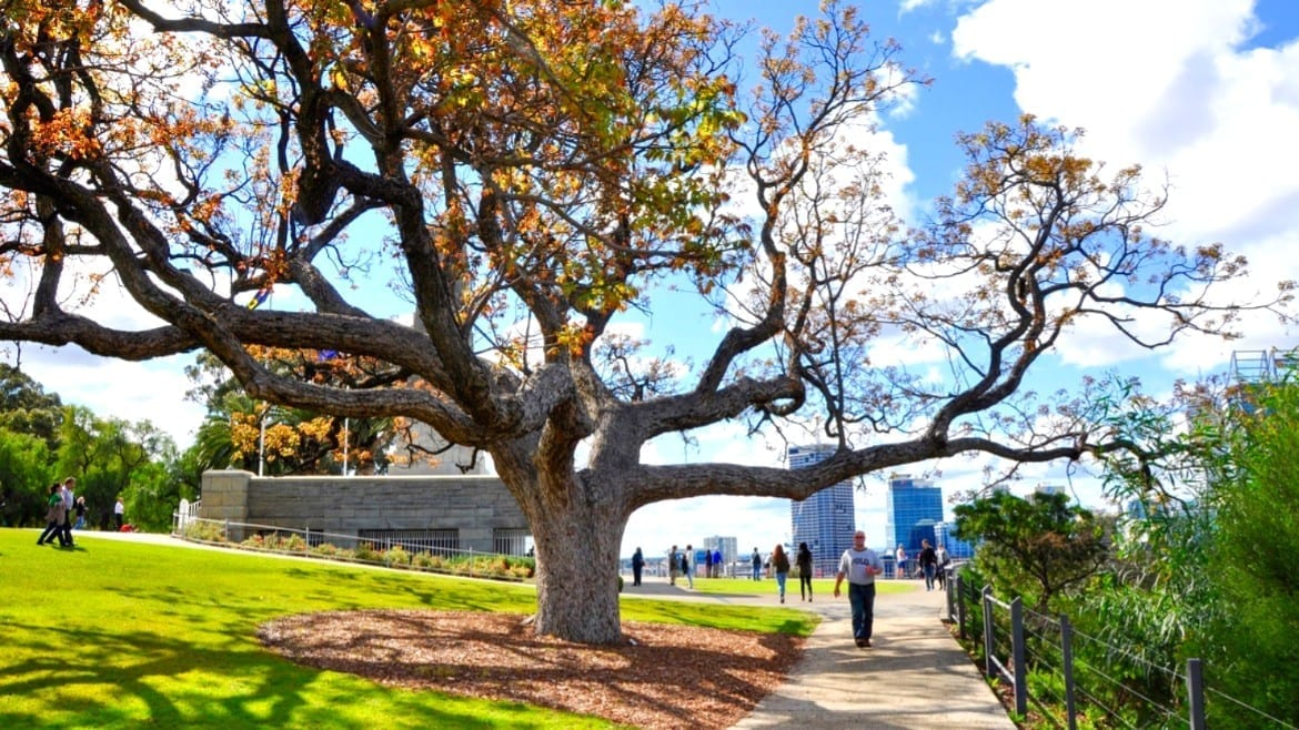 Large Tree And Tourists In King's Park Gardens In Perth,Western Australia vacation