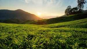 Tea Plantation Sunset Scene in Cameron Highlands, included in tours offered by Asia Vacation Group