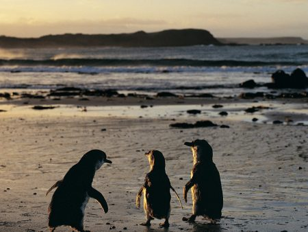 Penguins are waiting for you on Phillip island, Victoria