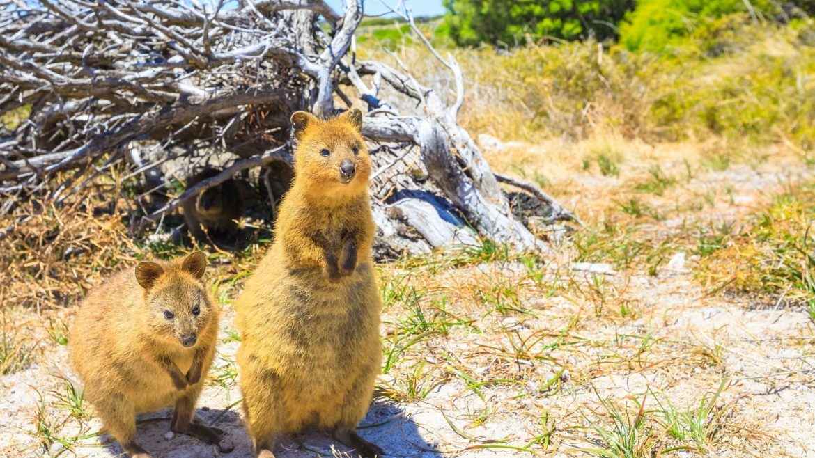 Quokka Rottnest Island Australia Asia Vacation Group