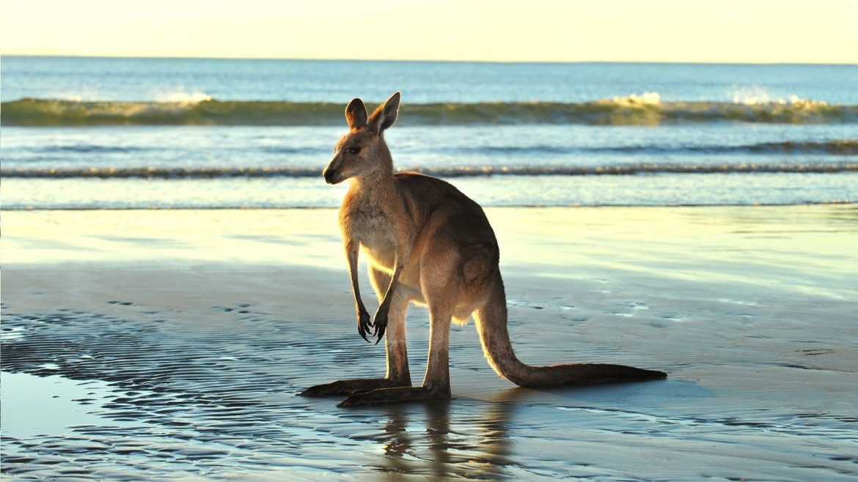 Kangooroo in Mackay Nord Queensland, Asia Vacation Group