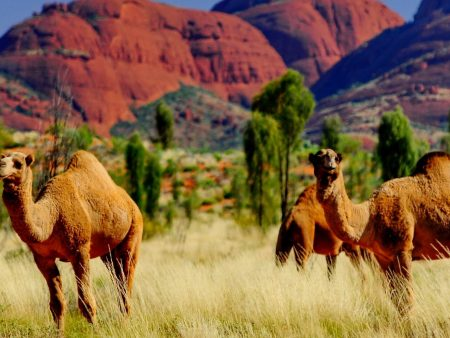 camel at Urulu, Australia tour holiday