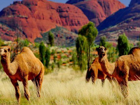 camel at Urulu, Australia tour holiday